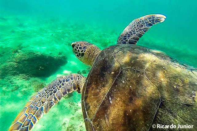 Foto de tartaruga durante mergulho em Fernando de Noronha. Photograph by Ricardo Junior / www.ricardojuniorfotografias.com.br