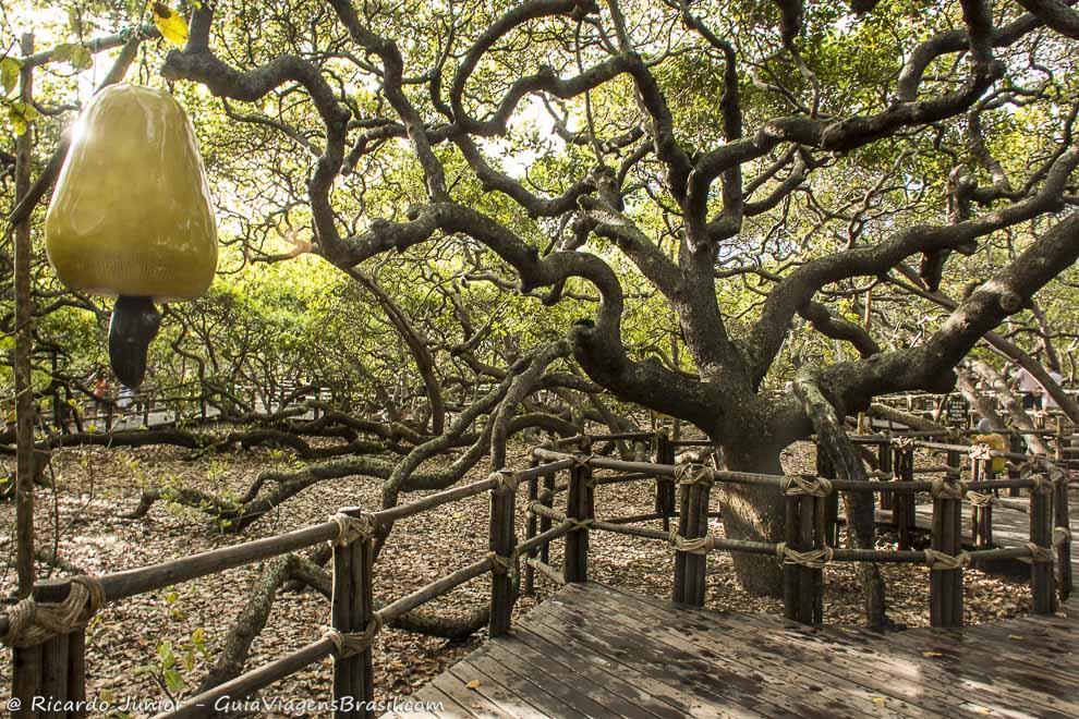 Cajueiro de Pirangi, o maior do mundo, cuja copa ocupa 1 ha, a 28 km de Natal, no Rio Grande do Norte. Photograph by Ricardo Junior / www.ricardojuniorfotografias.com.br