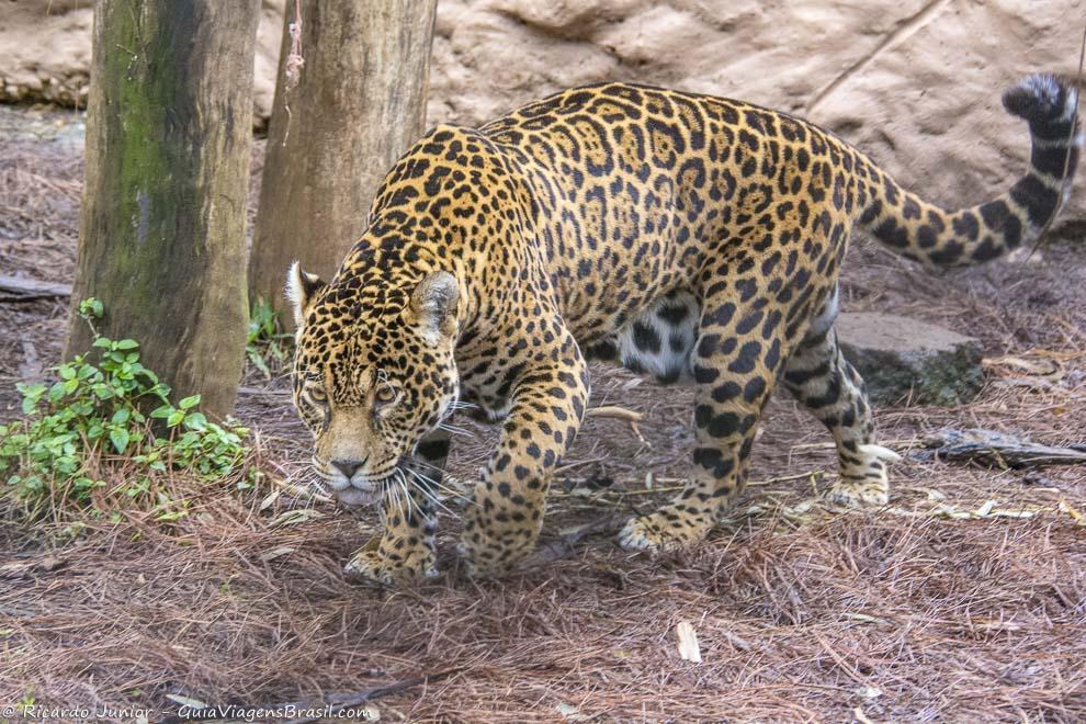 Leopardo no Gramadozoo, em Gramado, Rio Grande do Sul. Photograph by Ricardo Junior / www.ricardojuniorfotografias.com.br