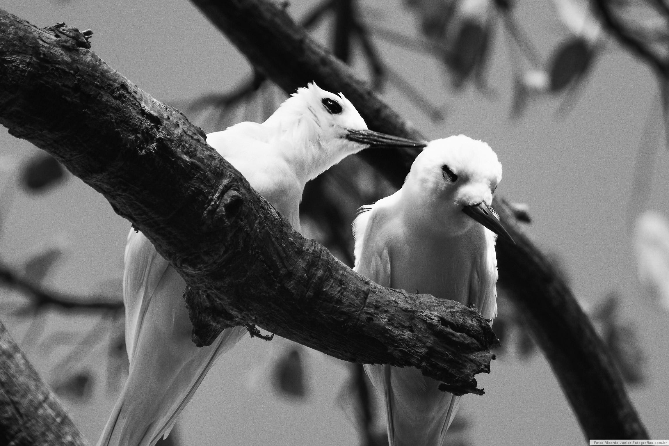 Casal de Aves, em Fernando de Noronha – Foto: Ricardo Junior