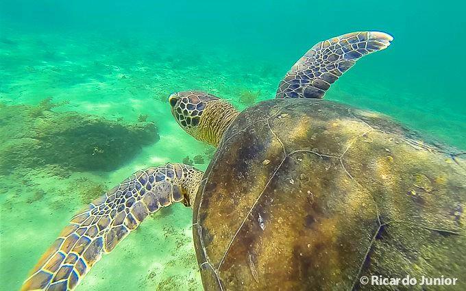 Mergulho com tartarugas, em Fernando de Noronha – Foto: Ricardo Junior