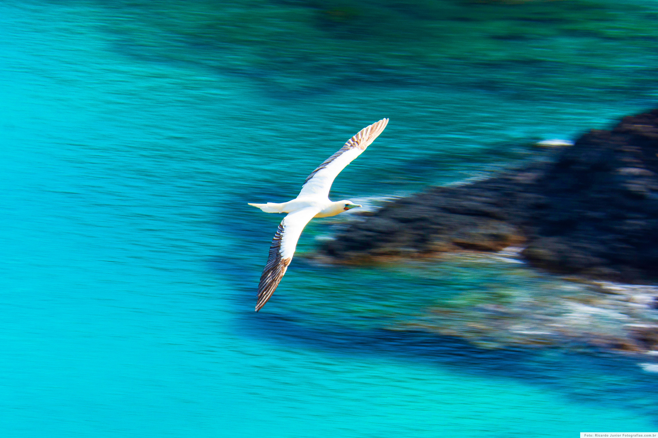 Atobá-de-pé-vermelho voando, em Fernando de Noronha – Foto: Ricardo Junior