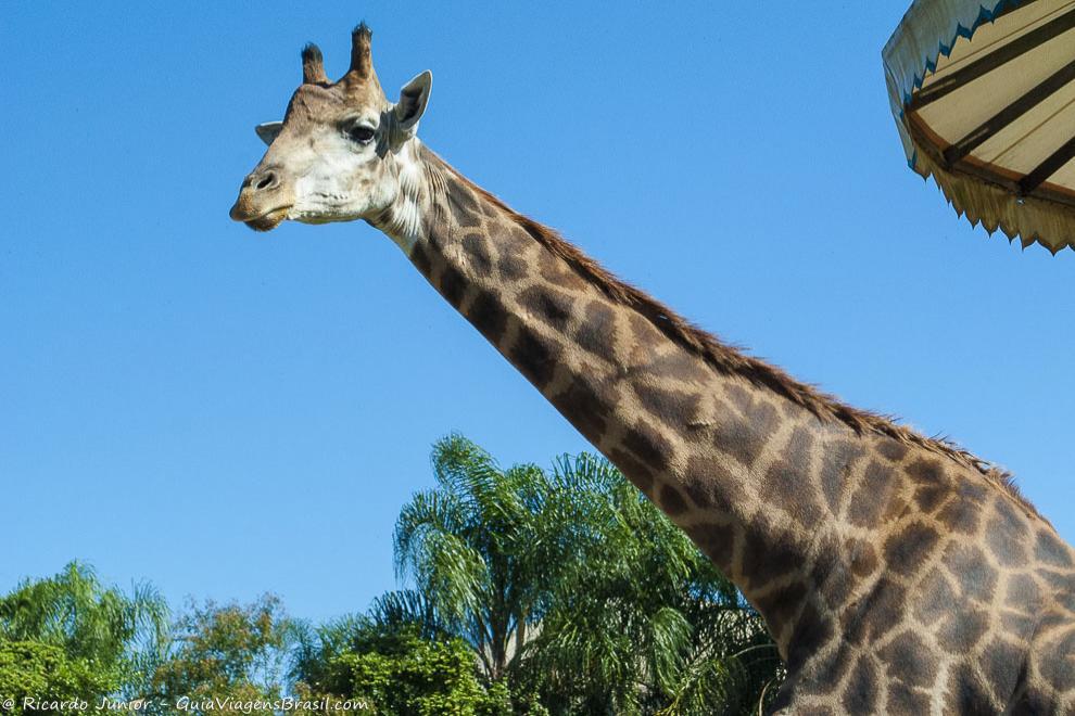 Girafa na área do zoológico do Beto Carrero World, em Penha, SC. Fotos de Ricardo Junior / www.ricardojuniorfotografias.com.br