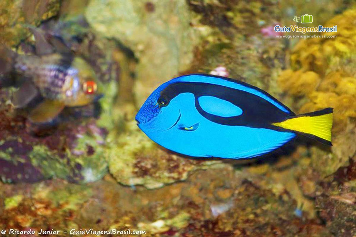 imagem-peixe-azul-no-aquario-sp