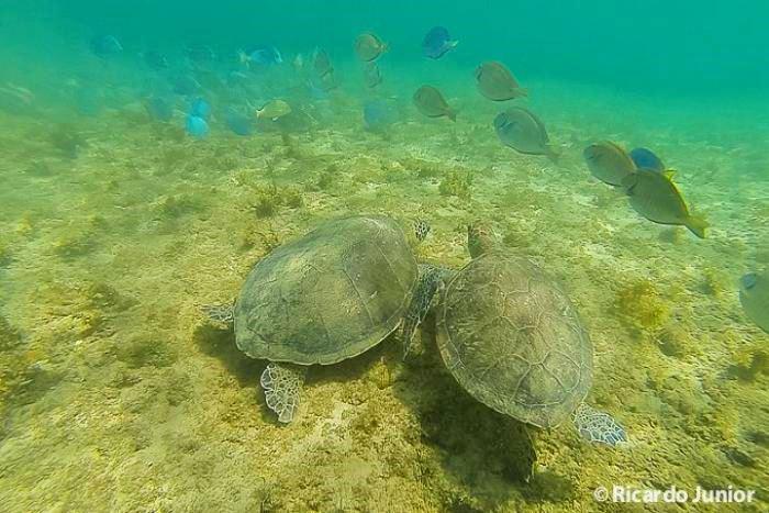 Tartarugas nadando pertinho em mergulho em Fernando de Noronha, PE. Fotos de Ricardo Junior / www.ricardojuniorfotografias.com.br