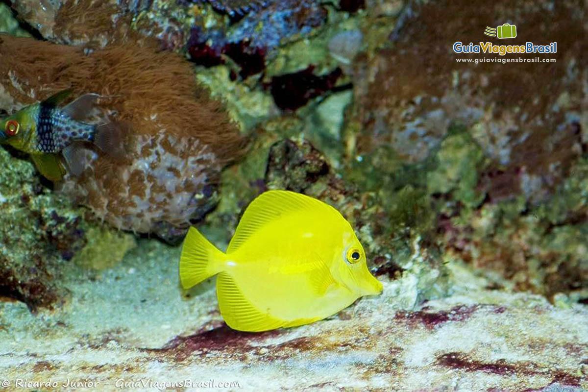 imagem-peixe-amarelo-no-aquario-sp