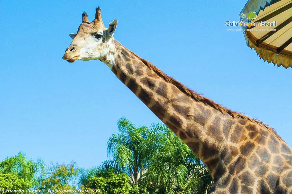 girafa-beto-carreiro-penha-sc