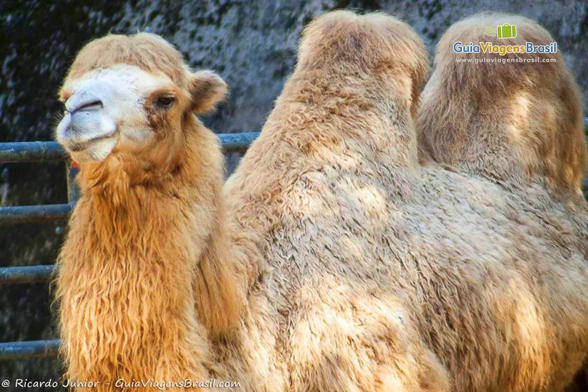 foto-camelo-zoologico-sp