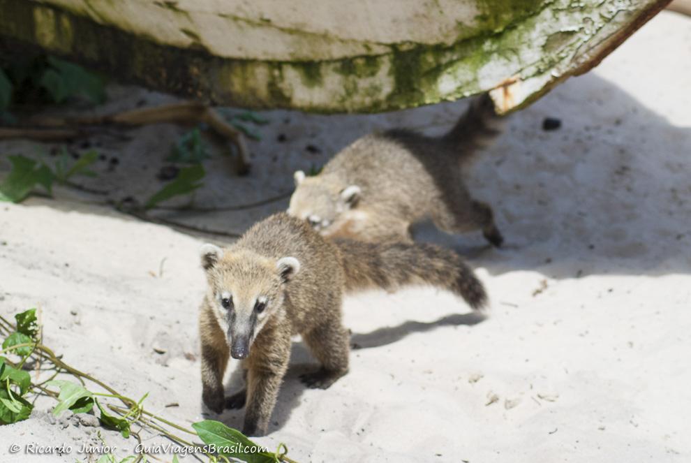 Quati na Ilha Campeche em Florianópolis (SC) - Foto: Ricardo Junior Fotografias.com.br