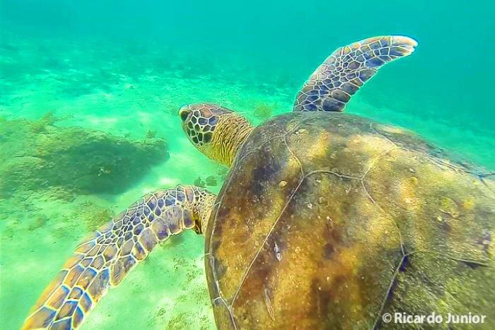 Foto tartaruga no mar Fernando de Noronha, PE.